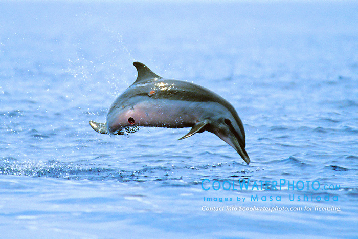 pantropical spotted dolphin calf, leaping, Stenella attenuata,  note cookiecutter shark wound on belly, Isistius brasiliensis, off Kona Coast, Big Island, Hawaii, Pacific Ocean
