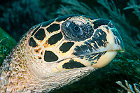 Close up of a Hawksbill turtle, Eretmochelys imbricata, Komodo National Park, Nusa Tenggara, Indonesia, Pacific Ocean