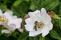 Honigbiene, Honig-Biene, Biene, Bienen, Apis mellifera, Apis mellifica, Blütenbesuch auf Wildrose, Rose, Heckenrose, Nektarsuche, Blütenbestäubung, honey bee, hive bee, bee, bees