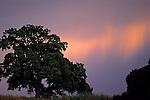 Sunlit rain falling behind a lone oak, Lafayette, CALIFORNIA