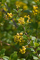 Gewöhnliche Berberitze, Sauerdorn, Berberis vulgaris, Common Barberry, European barberry