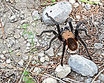 Nice Tarantula Spider specimen on a path at Lost Maples State Natural Area near Vanderpool Texas.