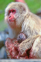 primate, Mother and baby Japanese macaque, Snow monkey, Macaca Fuscata, Birth scene. It gave birth on the morning of that day. Jigokudani means Valley of hell hot spring, Ngano, Japan