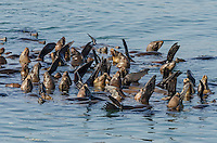 A raft of sunning California sea lions (Zalophus californianus).  Central California Coast.