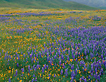 Carrizo Plain National Monument, CA<br /> Desert field of bicolor lupine and poppies near the green foothills of the Caliente Range