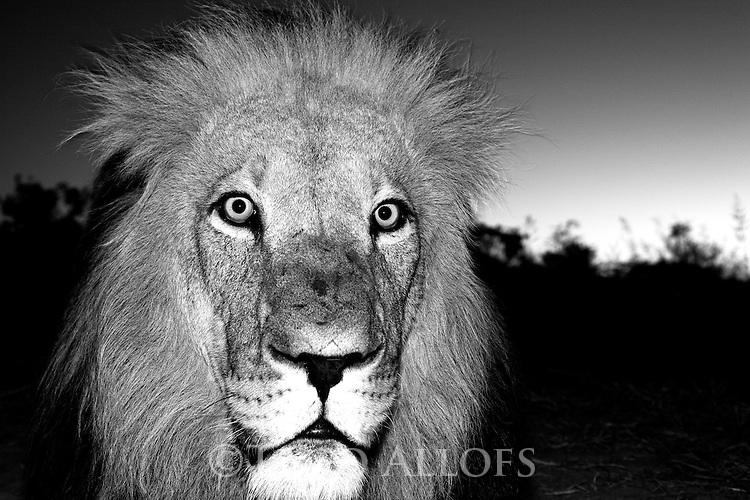 Botswana, Kalahari, private game reserve, male lion at dusk, captive