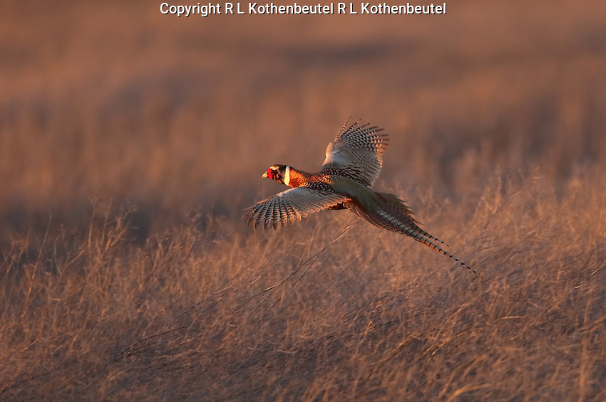 Male ring-necked pheasant lands in the tall marsh grass as the early  evening light reflects his brilliant plumage.<br />