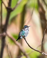 Bee Hummingbird (Mellisuga helenae), male in non-breeding plumage, perched. Cuba