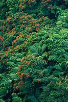 Tulip trees, royal palms<br /> Nanue Gulch<br /> Hamakua Coast<br /> Island of Hawaii,  Hawaii