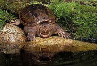 Common Snapping turtle..North America..Chelydra s. serpentina.