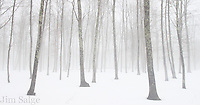 Winter fog in a glade of maple trees in Southern New Hampshire