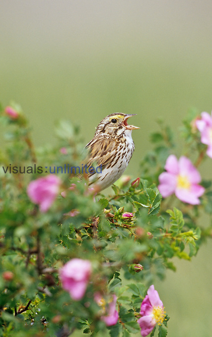 Savannah Sparrow singing (Passerculus sandwichensis), Western USA.