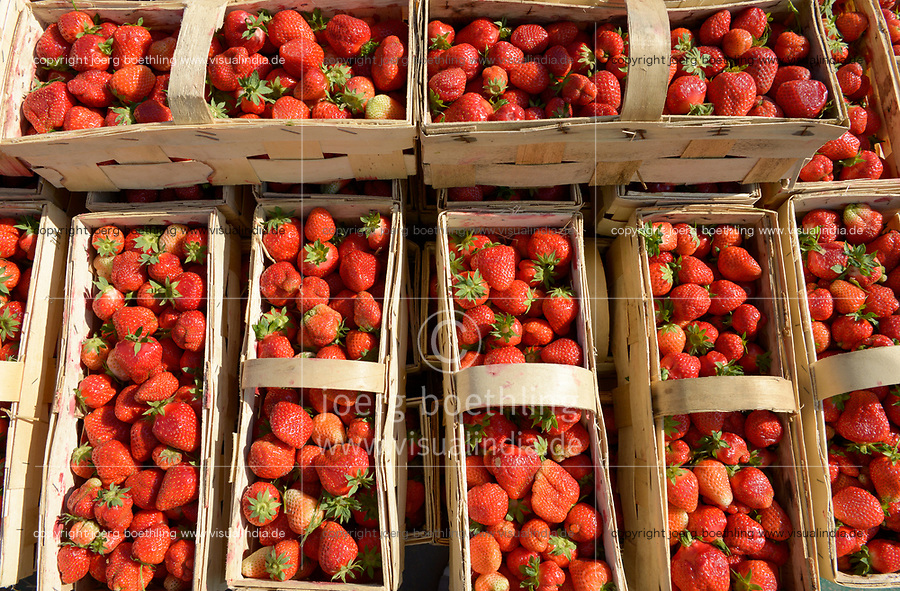 POLAND strawberry harvest, strawberries in basket / POLEN, Erdbeer Ernte, Erdbeeeren im Korb