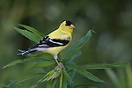 Male American goldfinch (Carduelis tristis) standing on goldenrod