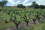 Vineyard Vines in Anderson Valley, California