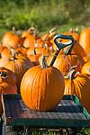 Selected pumpkin on wagon.