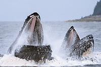 adult humpback whale, Megaptera novaeangliae, bubble net feeding near Admiralty Island, Alaska, USA, Pacific Ocean