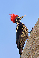 597950028 a wild lineated woodpecker dryocopus lineatus perches on a tree on los ebanos ranch in tamaulipas state mexico