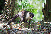 White-Nosed Coati, El Ceibal, Peten, Guatemala