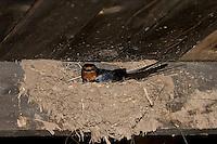 Rauchschwalbe, Rauch-Schwalbe, Rauch - Schwalbe, brütend im Lehmnest, Nest an Holzbalken in einem Stall, Hirundo rustica, Swallow, barn swallow, Hirondelle rustique
