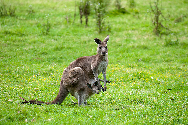 Female Eastern Grey Kangaroo (Macropus giganteus) with a new joey in her pouch.