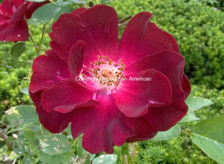 (Country Life Use Only)<br /> BETHLEHEM CT. 19 June 2014-061914SV10-Roses grow in the garden at the Bellamy-Ferriday house in Bethlehem. Rose name - Maple Stern.<br /> Steven Valenti Republican-American