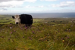 """Taking a """"short cut"""" to back to Doolin from Ballyvaughn brought us face-to-face with this Irish cow and a nice view of the Altantic Ocean. Doolin is to the far left in this image."""