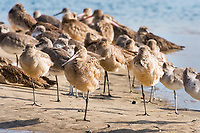 marbled godwit, Limosa fedoa, resting with a  single leg, Baja California, Mexico, Gulf of California, aka Sea of Cortez, Pacific Ocean