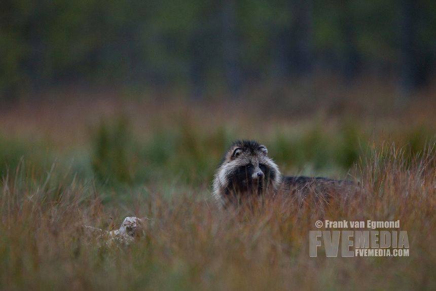 Raccoon Dog (Nyctereutes procyonoides). Wild.
