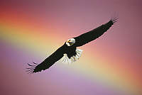Bald Eagle/rainbow