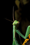Praying (Chinese) Mantis Tenodera aridifolia<br />