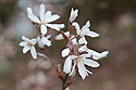 Blossom of Amelanchier 'La Paloma', early April. Also known as Snowy Mespilus.