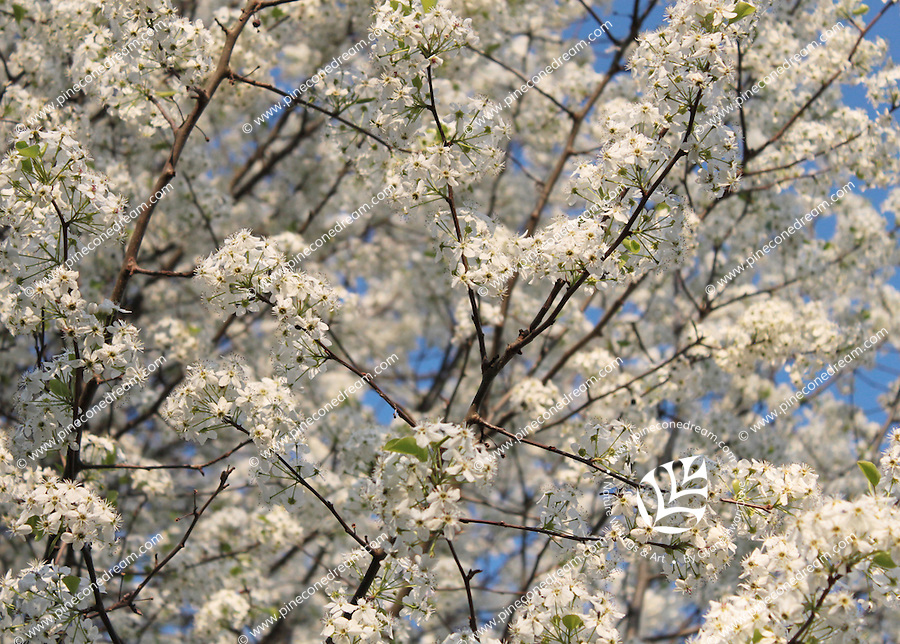 Stock photo: Meshed branches of cherry blossom flowers against blue sky in spring. Making a textured background.