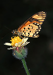 Acraeidae sp. Butterfly, orange and white spots on flower, West Africa