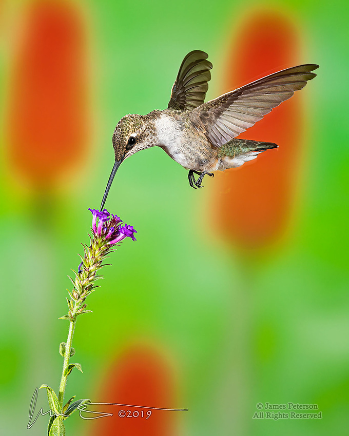 "A Sip for Breakfast.  Many species of hummingbirds migrate to central Arizona to spend the summer, and they're happy to grab a ""bite"" on the fly wherever they can.  This one was enjoying its morning meal in Sedona.<br /> <br /> Image ©2019 James D Peterson"