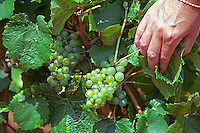 A hand showing Chardonnay grapes, a bit damaged by colure (a disease) and heat, in a Montrachet vineyard
