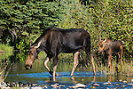 Moose cow and calf wading in beaver pond. Grand Teton National Park, Wyoming.