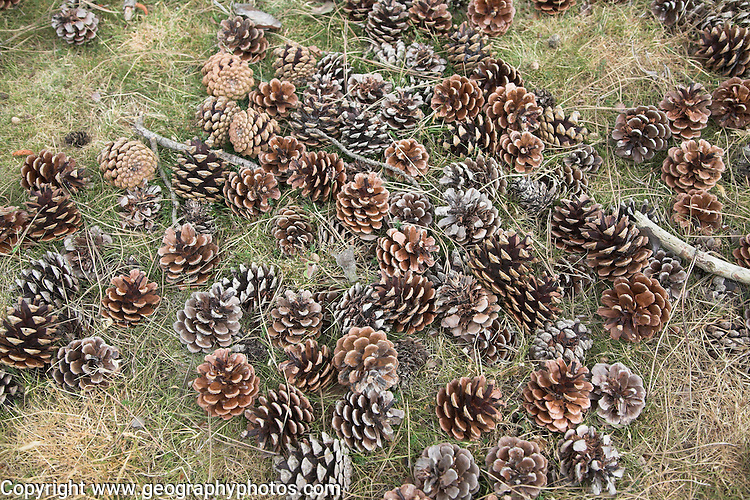 Pine cones lying on the ground, UK