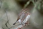 Northern pygmy owl, Montana