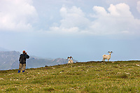 Hiker photographs Dall sheep on a mountain ridge in Denali National Park, Interior, Alaska.
