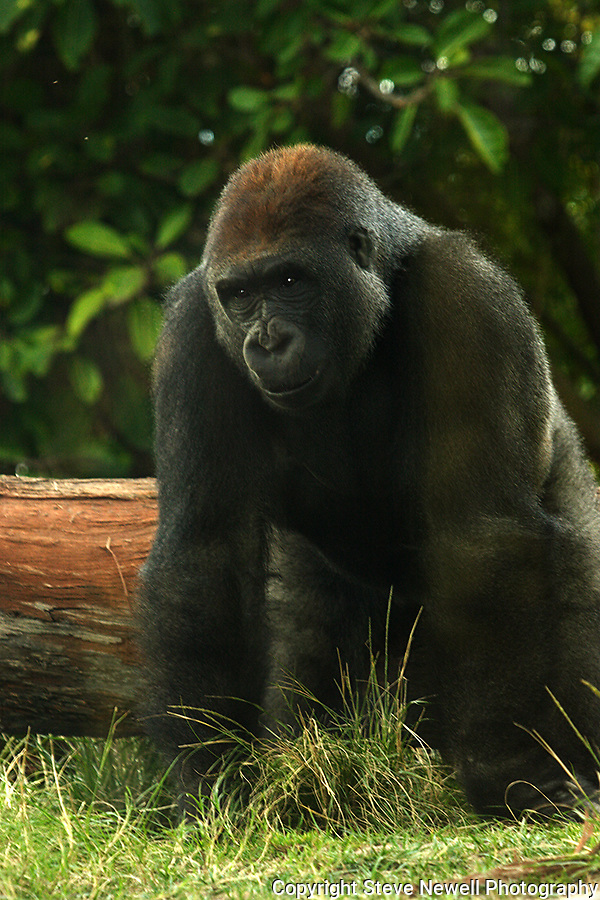 A Gorilla at the SanDiego Zoo.