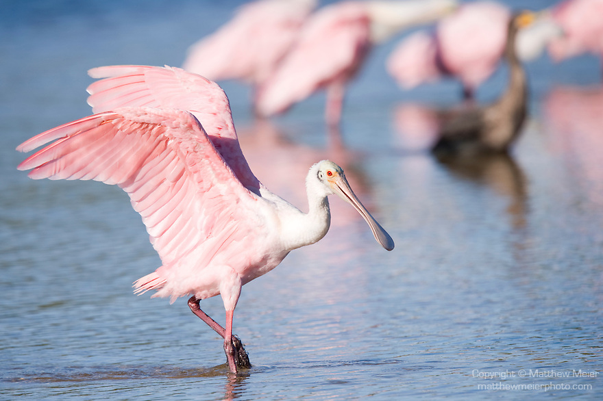 Ding Darling National Wildlife Refuge, Sanibel Island, Florida; a Roseate Spoonbill (Ajaia ajaja) stretches its wings while foraging for food in the shallow water © Matthew Meier Photography, matthewmeierphoto.com All Rights Reserved
