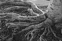 Photo of tentacle-like tree roots.  Rancho Park,Los Angeles.  Shot in color and then converted to grey in PS Lightroom 2.  Used a Nikon D80 with Nikkor 24-70mm F2.8 lens, set at 48mm and f5.6.  ISO 200