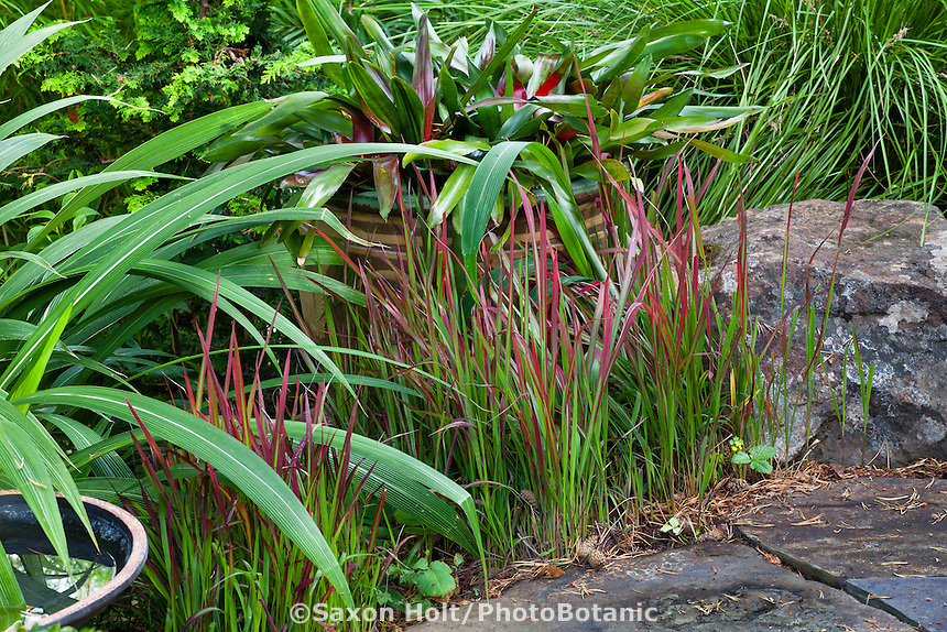 Japanese Blood Grass, Imperata cylindrica 'Rubra' by stone path in Sherry Merciari garden