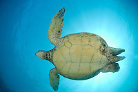 Green sea turtle Honu,Maui,Hawaii.Turtles swimming around Hawaiian waters.<br />