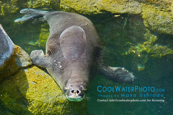 Hawaiian monk seal, Monachus schauinslandi, breathing, critically endagered, endemic to Hawaii, Pacific Ocean (c)