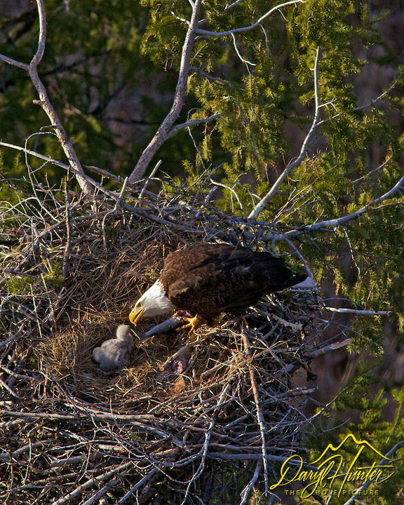 Bald Eagle feeding eaglet in nest high above the Snake River in Idaho