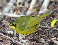 Adult male Kentucky warbler seen feeding actively on ground at Paradise Pond on April 24-26, 2013 during a massive fall out of migrating birds at that time.