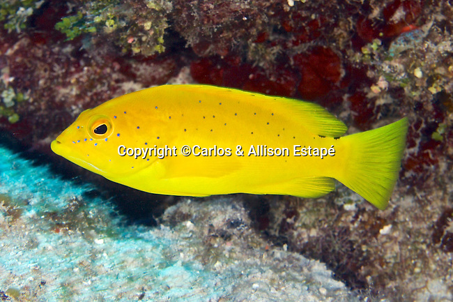 Cephalopholis fulva, Coney, Grand Cayman