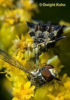 AM02-010z  Ambush Bug sucking fluid from its prey - fly - Phymata americana